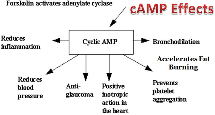 Benefits-Of-cAMP-compound