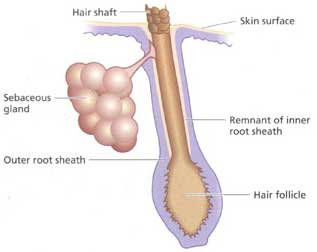Causes Of Sebaceous Prominence