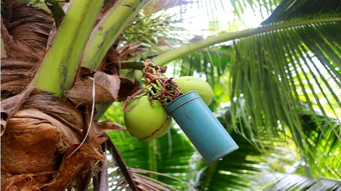 Coconut Sap Extraction