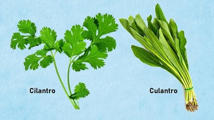 culantro vs cilantro